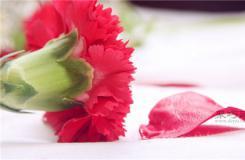 红康乃馨的花语和象征意义 母亲节最好送什么颜色康乃馨