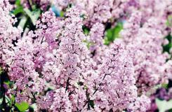 紫丁香花花语是什么?丁香花花语大全