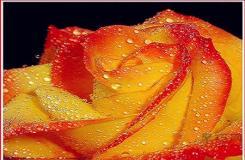 橙玫瑰花语是什么?橙玫瑰代表什么意思?