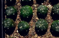 仙人球的幼苗移植方法图解