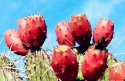 仙人掌果怎么吃 仙人掌果四种吃法及注意事项