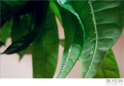 发财树叶子背面有粘液的原因及治疗方法