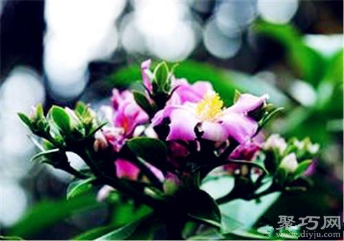 多肉植物樱麒麟的养殖方法及繁殖方法