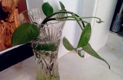 水培绿萝能否改造成土培?绿萝移植方法