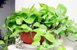 土培绿萝多久浇一次水?盆栽绿萝的浇水频率