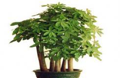 发财树可以分为哪几个种类?