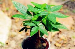 发财树盆栽冬天怎么养及发财树冻伤挽救方法