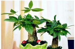 发财树怎样浇水及多久浇一次水?