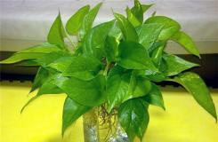水培绿萝多久换一次水长得快?