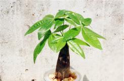 发财树水培怎么养及发财树水养注意事项