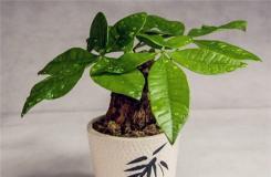 发财树用什么土栽培好 发财树营养液如何使用