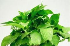水培绿萝怎样养长得快及水培绿萝养殖注意事项