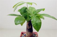 小发财树怎么养?小发财树能长大吗?