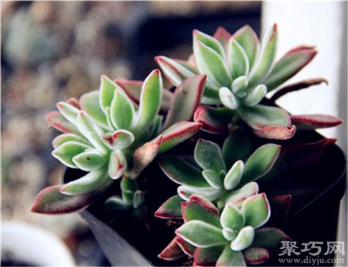 多肉植物锦晃星怎么养及锦晃星的繁殖方法