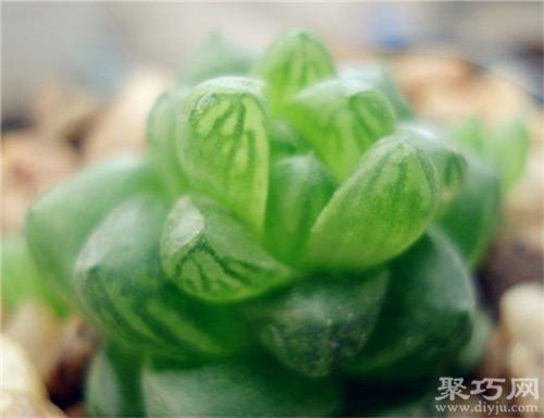 草玉露怎么养 草玉露的两种繁殖方法