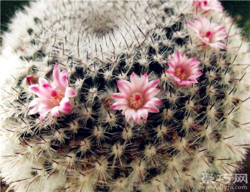 多肉仙人掌科玉翁的养殖方法 仙人球玉翁繁殖方法