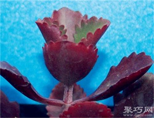 多肉植物朱莲的养殖办法及滋生办法