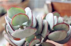 多肉植物黄金花月的养殖方法及繁殖方法