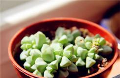 多肉植物白凤菊怎么养殖 白凤菊的繁殖方法