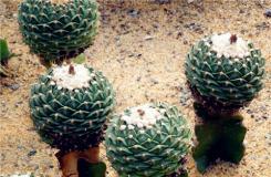 多肉植物帝冠的养殖方法 帝冠牡丹繁殖方法