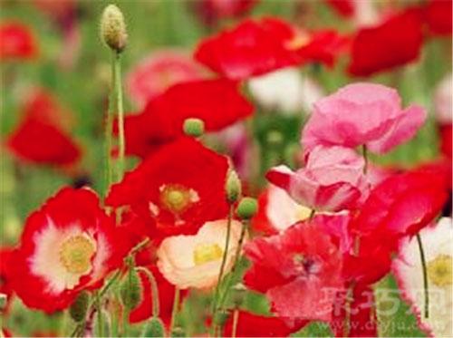5月17日生日花角罂粟花