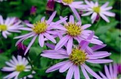 10月14日生日花:柳叶紫苑 柳叶紫苑花语