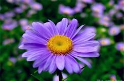 10月27日生日花:紫苑花 紫苑花花语