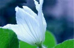 1月12日生日花:葫芦花 葫芦花花语
