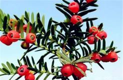 1月13日生日花:西洋红豆杉 西洋红豆杉花语