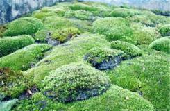1月27日生日花:地苔 地苔花语