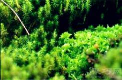 1月6日生日花:螺旋藓苔 螺旋藓苔花语
