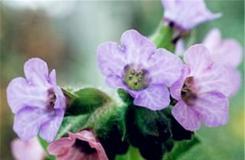 2月27日生日花:兜藓 兜藓花语