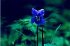 3月20日生日花:野生紫萝兰 野生紫萝兰花语