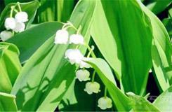 3月28日生日花:绿豹毒 绿豹毒花语