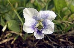 4月2日生日花:香甜紫萝兰 香甜紫萝兰花语