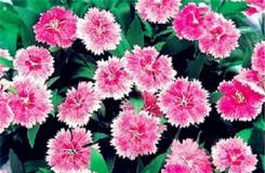 5月1日生日花:红石竹 红石竹花语