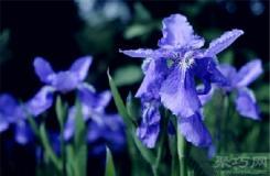 5月12日生日花:鸢尾花 鸢尾花花语