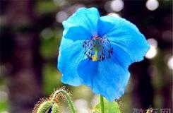 5月15日生日花:威尔斯罂粟 威尔斯罂粟花语