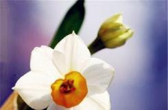 5月3日生日花:雉眼水仙 雉眼水仙花语