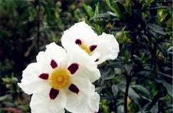 5月30日生日花:岩蔷薇 岩蔷薇花语