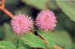 6月15日生日花:含羞草 含羞草花语