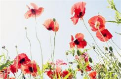 6月20日生日花:长荚罂粟 长荚罂粟花语