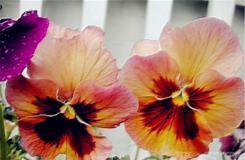7月16日生日花:大型三色蓳 大型三色蓳花语