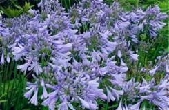 7月22日生日花:紫君子兰 紫君子兰花语