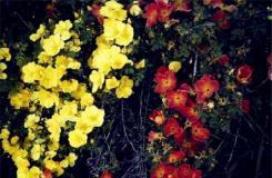 7月5日生日花:奥地利石南玫瑰 奥地利石南玫瑰花语