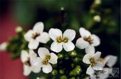 7月7日生日花:水芥子 水芥子花语