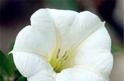 8月1日生日花:白花曼陀罗 白花曼陀罗花语