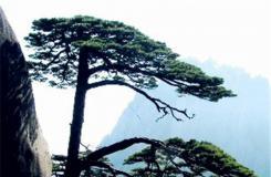 9月25日生日花:松树 松树花语