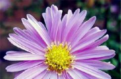 9月29日生日花:米迦勒雏菊 米迦勒雏菊花语
