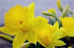 9月30日生日花:黄水仙 黄水仙花语